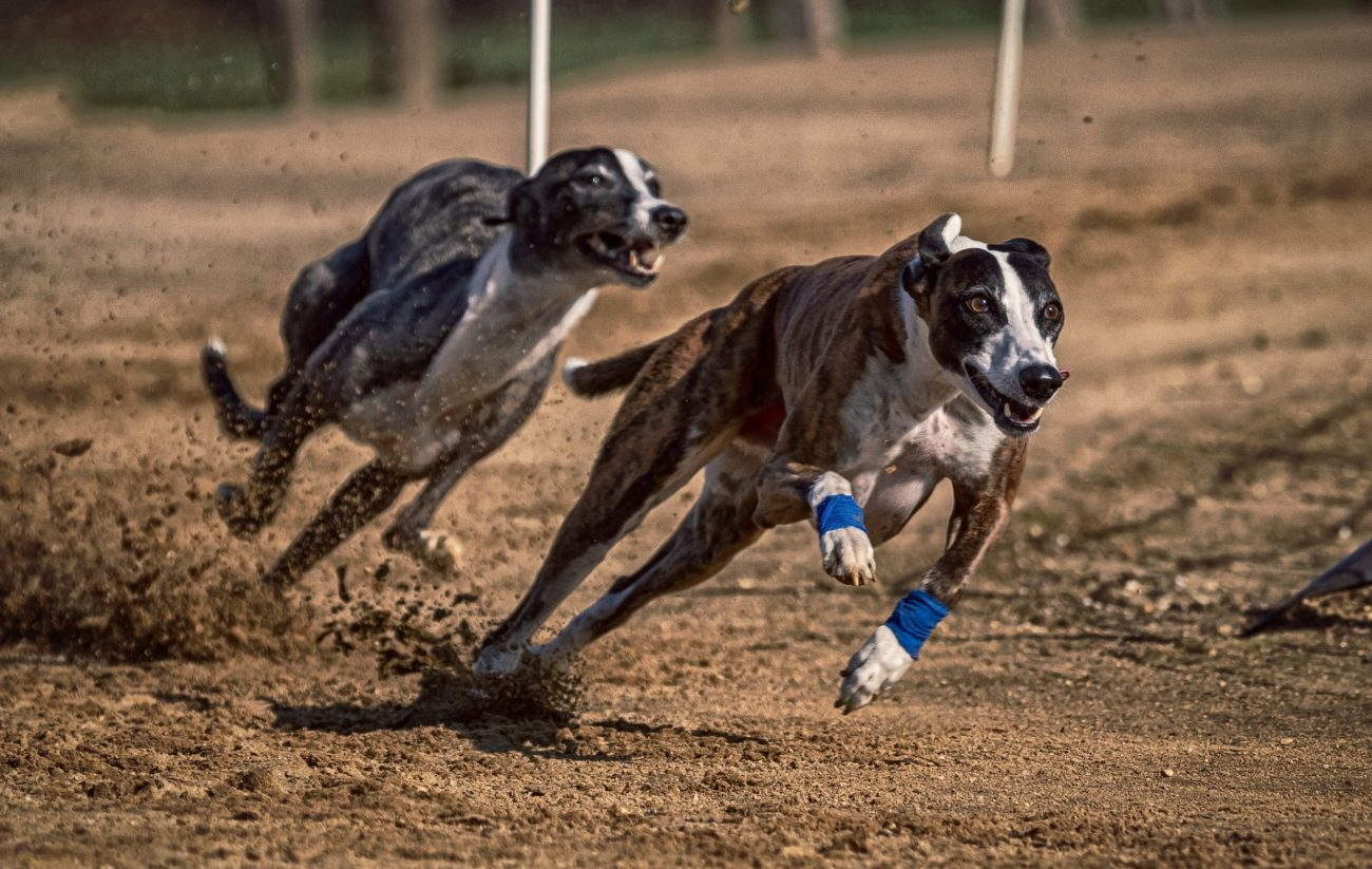 Irish greyhound derby betting 2021 corvette betting partnership agreement